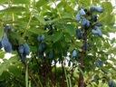 BIOHASKAP proszek z bio jagody kamczackiej/haskap Nazwa handlowa BIOHASKAP Vitality