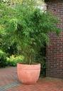 Bambus Fargesia Rdzawa mrozoodporny 40-60cm C3 Roślina w postaci sadzonka w pojemniku 3-5l