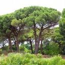 Sosna pinia pinus pinea 90-110cm C2 Roślina w postaci sadzonka w pojemniku 2-3l