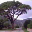Sosna pinia pinus pinea 90-110cm C2 Rodzaj rośliny sosna
