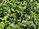 Herbata chińska camellia sinensis 20-40cm P10 Rodzaj rośliny Inny