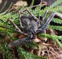 Damon medius. Pajęczaki / pająki Nazwa handlowa Damon medius