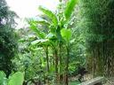 Bananowiec Musa Basjoo 40-60cm C1.5