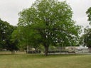 Orzesznik jadalny Pekan 80-100cm C2 Roślina w postaci sadzonka w pojemniku 2-3l