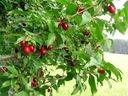DEREŃ JADALNY sadzonki 20-40cm P9 Rodzaj rośliny Inny
