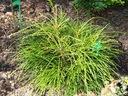 Żywotnik olbrzymi Thuja WHIPCORD PA 80-100cm C5 Rodzaj rośliny Inne