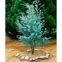 Eukaliptus gunni niebieski na pniu 20-30cm 1L Wysokość sadzonki 20-30 cm