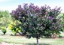 Judaszowiec kanadyjski Merlot 150-170cm 10L Rodzaj rośliny Inny