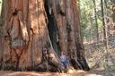 Mamutowiec olbrzymi P9 Wysokość sadzonki 10-30 cm