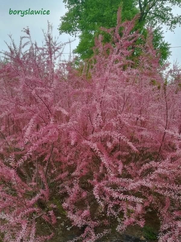 01d170861dc52d Dorasta do około 4 metrów, lubi przycinanie, najlepiej po kwitnieniu. Nie  wymaga szczególnego podłoża, rośnie również na słabszych, piaszczystych  ziemiach.