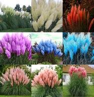 Trawa pampasowa MIX kolorów gigantyczna nasiona