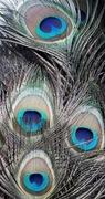Pawie pióra duże oczka