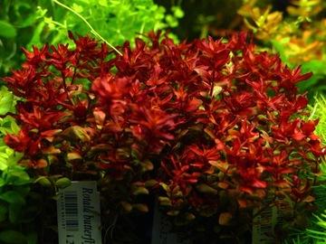 Растения в аквариум Rotala MINI BUTTERFLY РЕДКОСТЬ доставка товаров из Польши и Allegro на русском