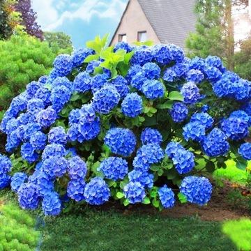 NIEBIESKA HORTENSJA OGRODOWA NIKKO BLUE доставка товаров из Польши и Allegro на русском