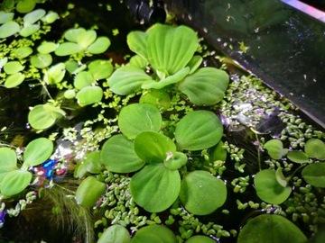 Pistia растение плавающее С АКВАРИУМА доставка товаров из Польши и Allegro на русском