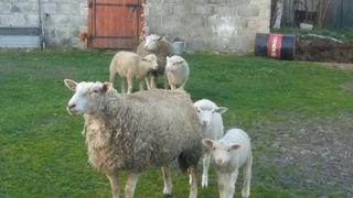 Стадо овец доставка товаров из Польши и Allegro на русском