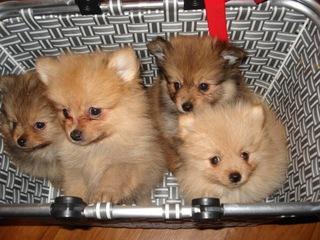Szpic miniaturowy Pomeranian - BOO доставка товаров из Польши и Allegro на русском
