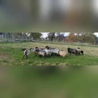 owce wrzosówki доставка товаров из Польши и Allegro на русском