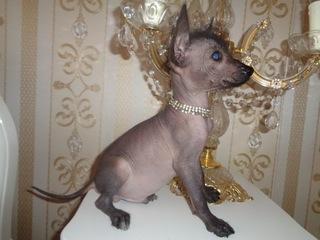Nagi Pies Meksykański XOLO piękne wystawowe unikat доставка товаров из Польши и Allegro на русском