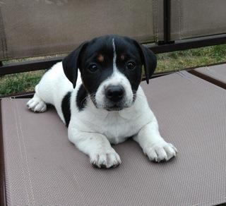 Jack Russell Terrier доставка товаров из Польши и Allegro на русском