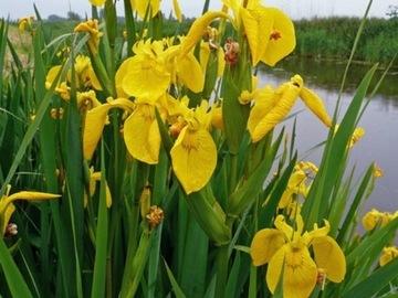 Kosatec žltý Iris pseudacorus iris P9