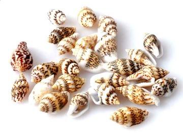 Shells malý mini miniatúrny prírodný trio
