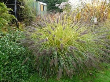 Okrasná tráva JAPONSKÝ DEFLOWER P.virid. semená