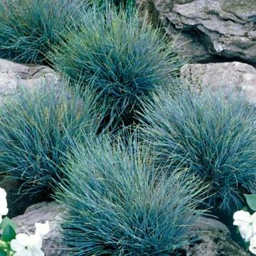 Mrznúce celozrnné semená BLUE GRASS