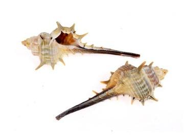 5PCS mušle prírodné dekorácie 6-8 cm s211