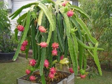 PIŤ ČERVENÉ jedlé ovocie Semená DRAČÍHO OVOCIA