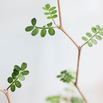 Sophora 'Little Baby' Perla s malými listami