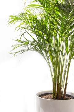 AREKA - ŽIVÝ zvlhčovač vzduchu! Dypsis lutescens