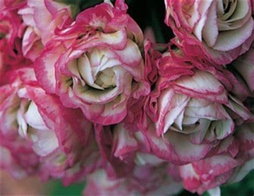 APPLEBLOSSUM Semená pelargonia hranice