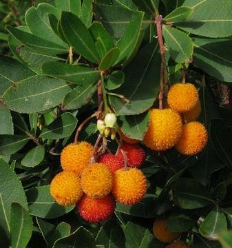 JAHODOVÉ STROME jedlé chutné ovocné semienka