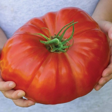 EARLY BRUTUS TOMATO Obrie až 2 kg 150 semien