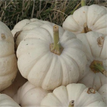 BABY BOO biela tekvica na ozdobu semien