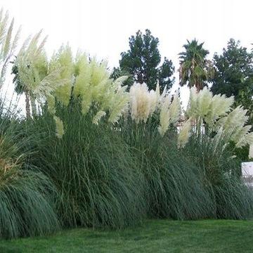 PAMPAS GRASS biela v. Dokázalo sa, že má až 2m osiva