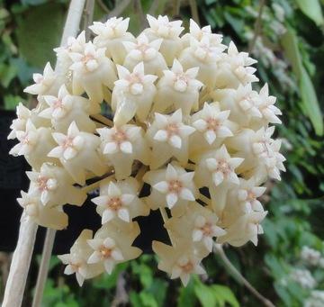 HOJA LATIFOLIA voňavé semená kvetov porcelánu