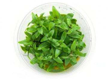 Кружка Staurogyne sp. Repens 10 см in vitro