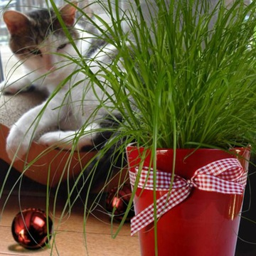 Кошачья трава для кошки cyperus zumula feline delicacy