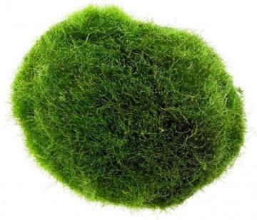 Cladophora Aegagrophila растение круглых водорослей