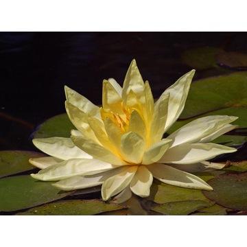 Lotos Orzechodajny lilia wodna 10 nasion
