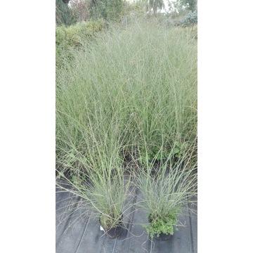 pennisetum rozplenica HAMELEN, LITTLE BUNNY p9