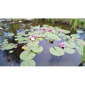 Grzybień-lilia wodna