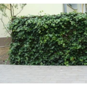 BLUSZCZ ZIMOZIELONY - sadzonki 30cm w doniczkach !