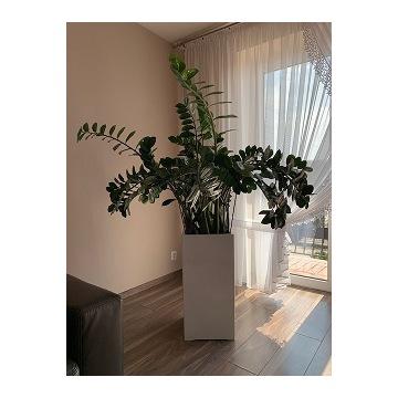 Zamioculcas zamiifolia okaz 160 cm