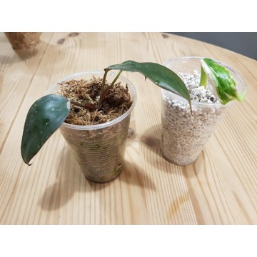 Philodendron pink princess +Philodendron white p