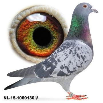 Samica NL-2015 z rozpłodu gołąb gołębie pocztowe