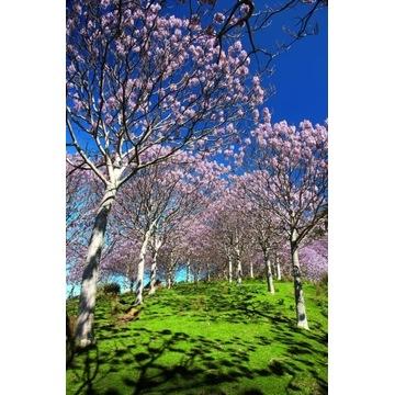 Paulownia omszona Cesarskie drzewko szczęścia