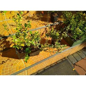 trzmielina krzew sadzonka